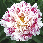 Пион Paeonia lactiflora Candy Striped