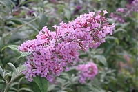 Буддлея Давида Buddleia davidii Orchid Beauty