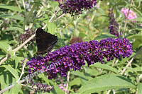 Буддлея Давида Buddleia davidii Black Knight
