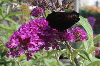 Буддлея Давида Buddleia davidii Royal Red