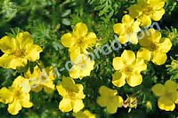 Лапчатка кустарниковая Potentilla fruticosa Dakota Sunspot