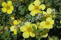 Лапчатка Potentilla fruticosa Goldstar