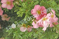 Лапчатка Potentilla fruticosa Lovely Pink