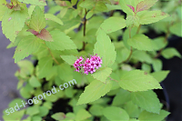 Спирея японская Spiraea japonica Magic Carpet