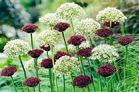 ALLIUM PAARS-WIT / PURPLE-WHITE MIX