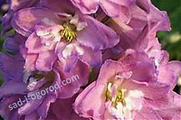 Дельфиниум Delphinium cultorum Pacific Giant Astolat