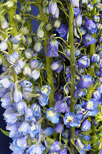 Дельфиниум Delphinium cultorum M.F. Mid Blue with White Bee